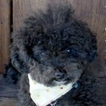 Harper B   Small Poodle at Large