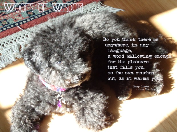 Woofs of Wisdom | Small Poodle at Large
