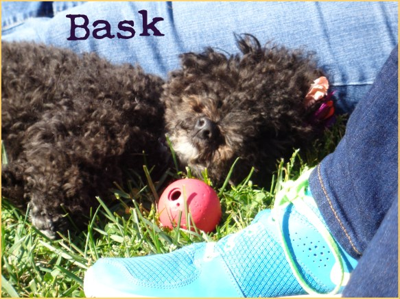 Harper B. | Small Poodle at Large |Bask
