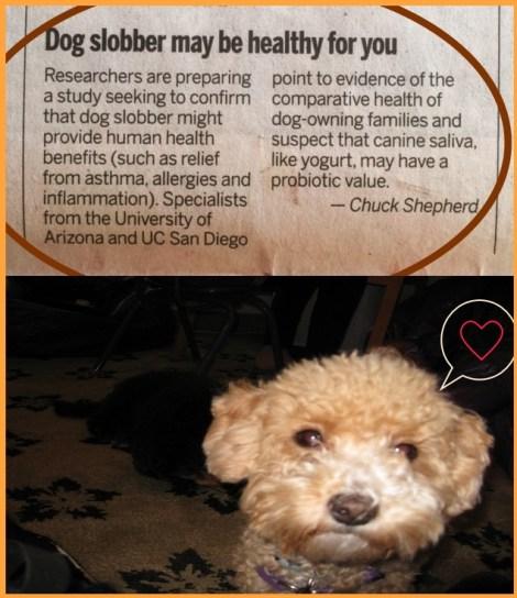 Small Poodle at Large   dog slobber