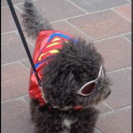 I walked the parade as Super Dog. It was my victory lap after recovering from surgery! I have to say, I really enjoyed the applause.