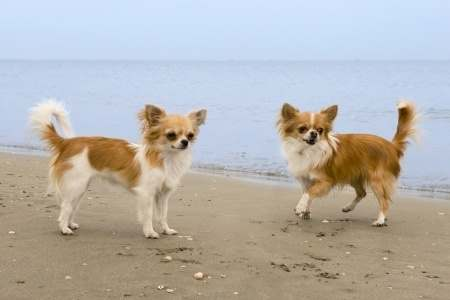All About Chihuahuas Small Breed Dogs