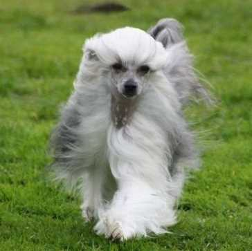 Chinese Crested Dog Breed Information And Pictures