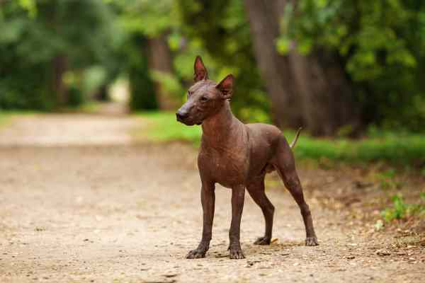 Xoloitzcuintli The Mexican Hairless Dog Small Dog Place
