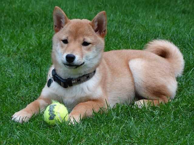 Shiba Inu Small Dog Place