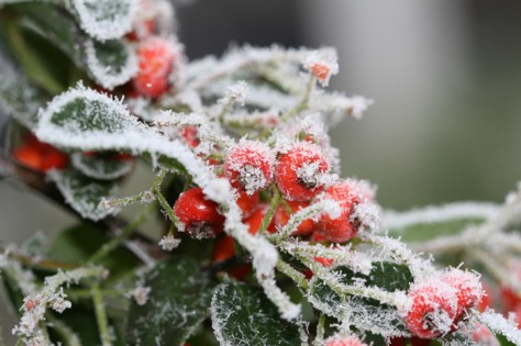 Frosty pyrancantha berries