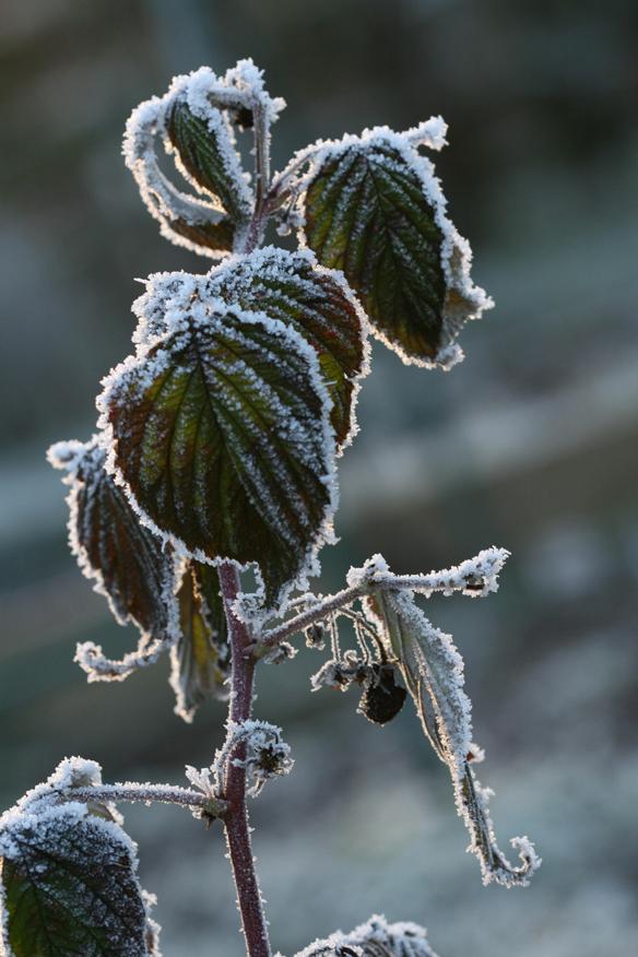 Frozen raspberry leaves