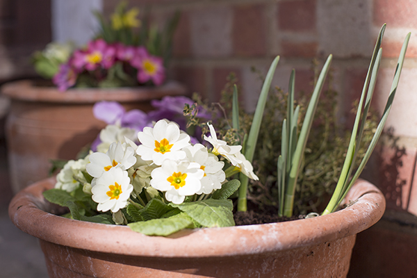 Primroses and daffodils