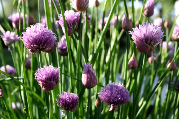 chive-flowers