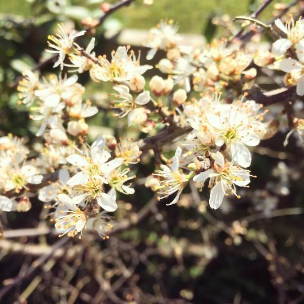 sloe blossom