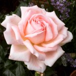Roses for a cottage garden