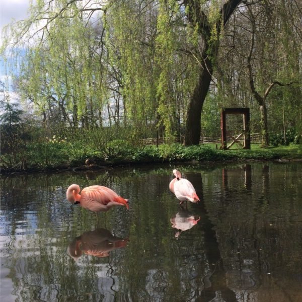 Flamingoes in the pond at Coton Manor