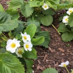 Into the swing of spring – strawberries recovering