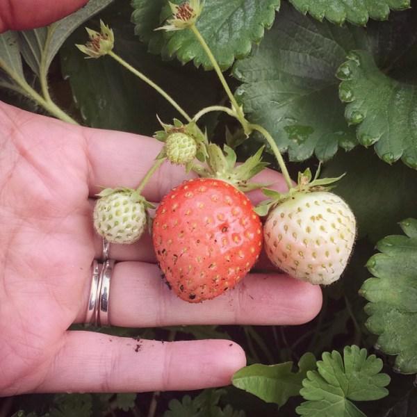 Strawberries ripening in October
