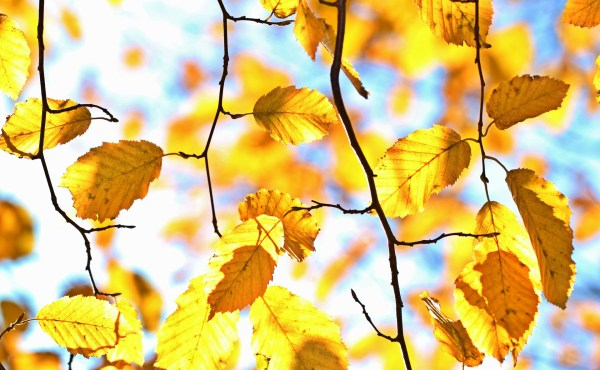 Autumn leaves in the sunshine