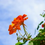 The humble nasturium – my flower of the year