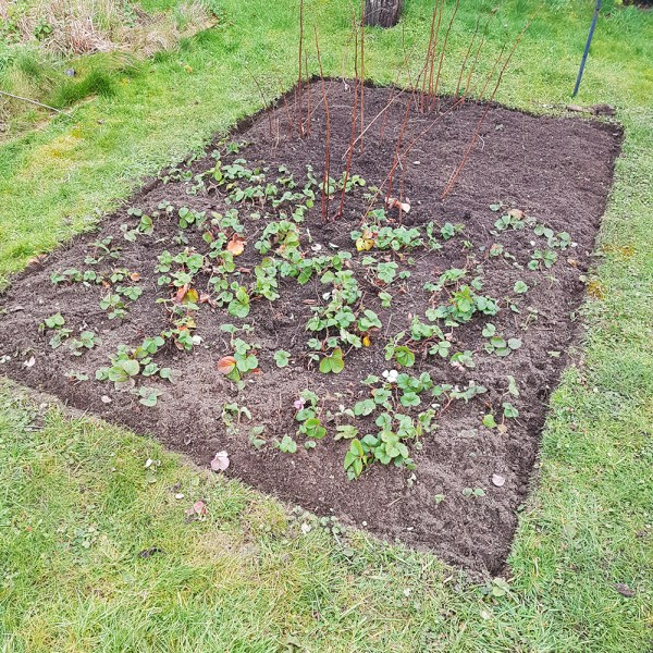 Strawberry/raspberry bed ready for mulching