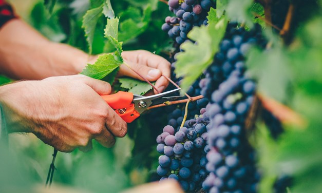 Growing grapes for wineries