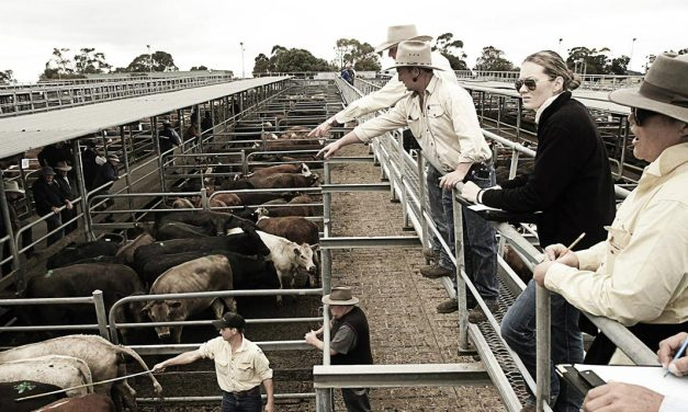 Market options for sheep and cattle