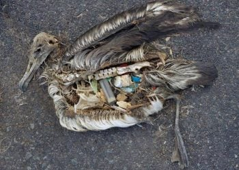 One of thousands of albatrosses that died with bellies full of our plastic trash