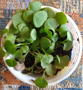 Miner's lettuce is a cool season edible wild plant
