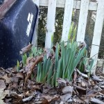 Daffodil leaves and flower buds coming up through the leaf litter.