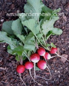 Cluster of round, red radishes -- an easy crop and so good to eat.