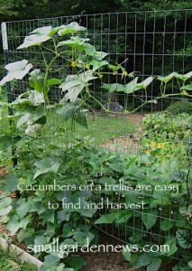 Growing cucumbers on a trellis leaves more room on the ground for other crops.
