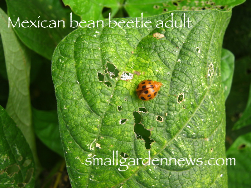 Understand Mexican bean beetle adult not absolutely