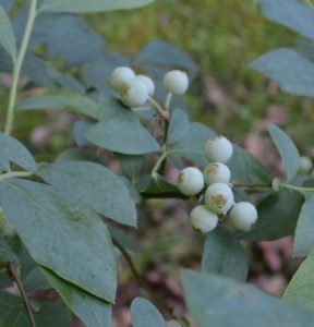 Blueberries will be ripe beginning in mid-to-late June.