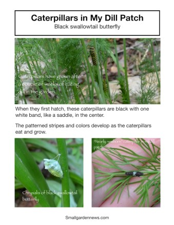 Black swallowtail butterfly caterpillars in the garden, in the dill patch. Graphic shows newly hatched larva, larger larva, and chrysalis