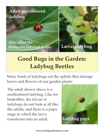 Ladybugs are voracious eaters of aphids in the garden. Adult, larva, and pupa forms are very different in appearance.