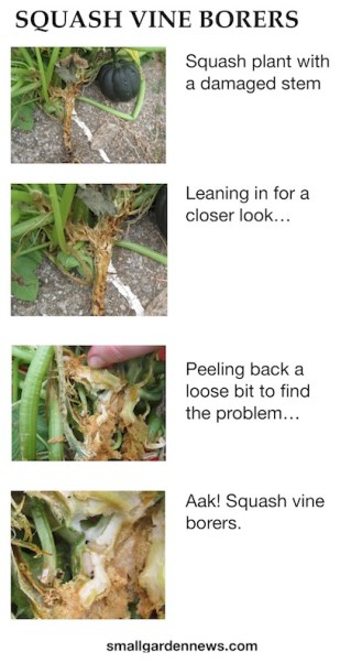 Sequence of pictures zooming in on damaged stem of squash plant to find the squash vine borers.