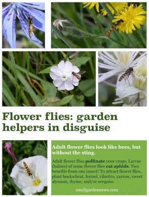 Flower flies, which are beneficial garden insects, look like bees but without the sting.
