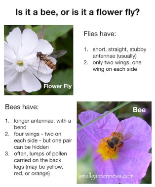 Flower flies are beneficial garden insects that can look like bees.