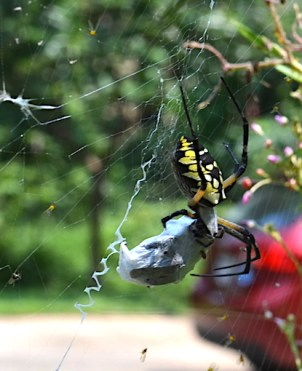 Garden spider (Argiope) has caught something big for dinner!