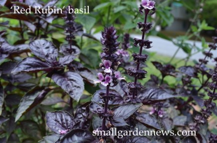 'Red Rubin' basil is beautiful, flavorful, and easy to grow.