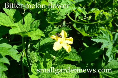 Flower of bitter melon, with bee.