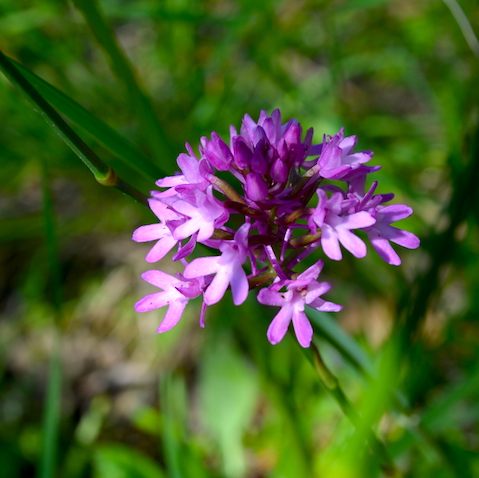 Tuscany wildflower, the orchid Anacamptis pyramidalis, growing outside Montepulciano