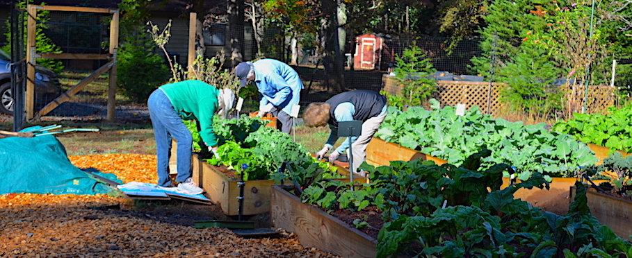 Trio of gardeners harvesting lettuces and kale from the first planting bed.