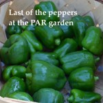 Last pepper harvest for fall at the Plant a Row for the Hungry garden.