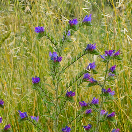 Tuscany wildflower Viper's Bugloss is a member of the Borage family