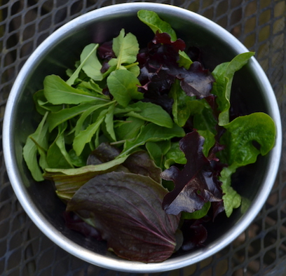 Bowl of harvested salad greens, with green lettuces and rocket and red lettuces and raddichio.