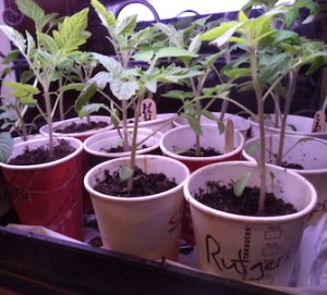 Tomato transplants for the organic home garden, indoors under lights on a cold day.