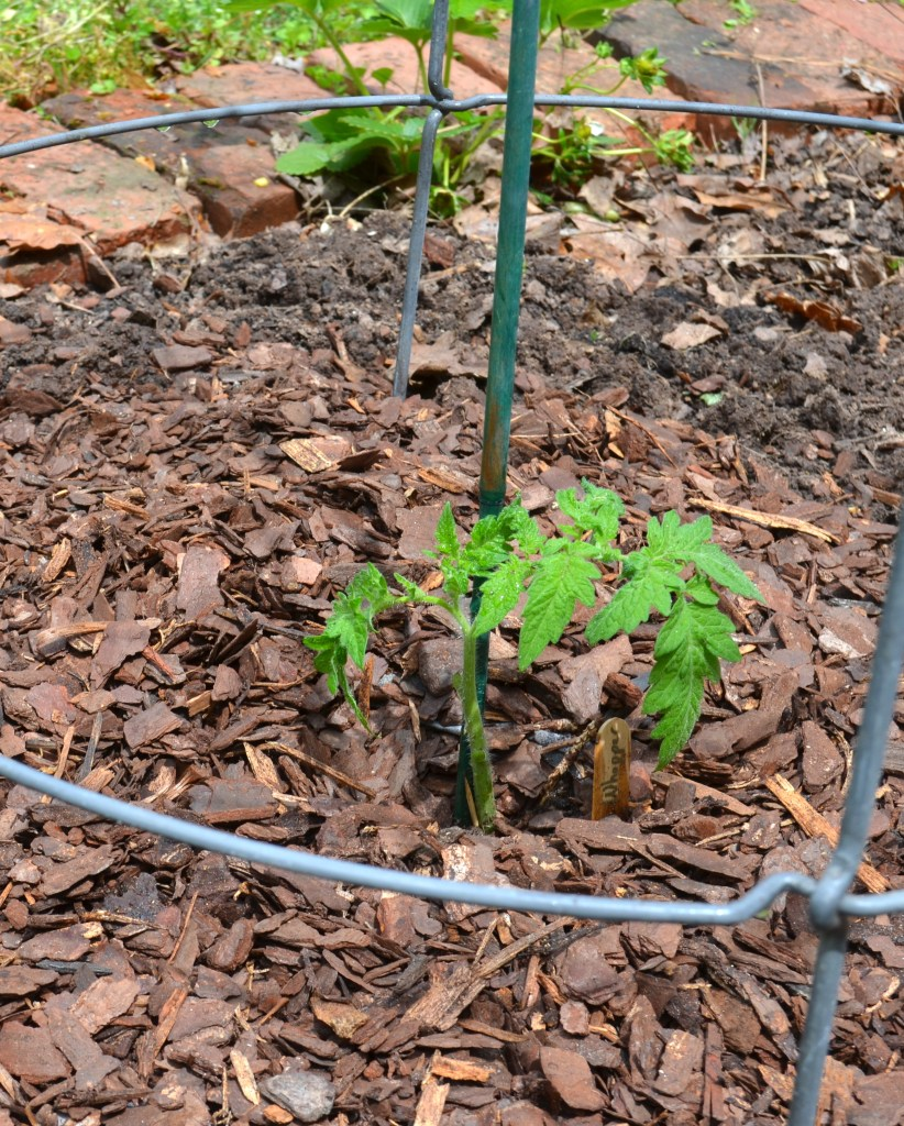 Thin layer of pine bark mulch surrounds small tomato plant.
