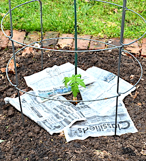Small tomato plant in the garden, with thin layer of newspaper spread on the ground around it.