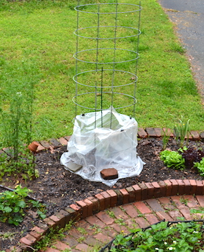 Tomato cage with lower portion wrapped in plastic helps protect early-planted tomato from cool night temperatures.