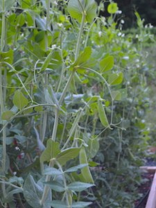 Vines of sugar snap peas, with both white flowers and peas ready to harvest.