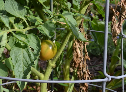 Tomato beginning to ripen on the plant, with some brown leaves nearby.