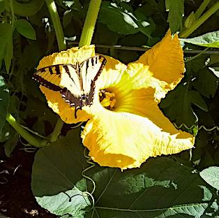 Yellow swallowtail butterfly resting on a large yellow squash flower; several bees are clustered in the center of the large flowers